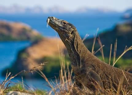 Komodo dragon sitting on the ground in Komodo National Park