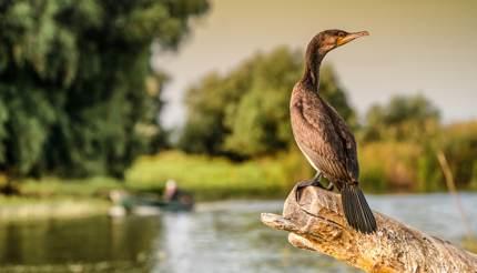 Cormorant in the Danube Delta
