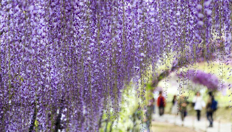 Home - Wistaria garden, Kawachi, Japan