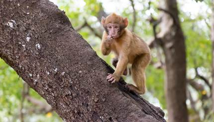 Barbary macaque, Ifrane National Park