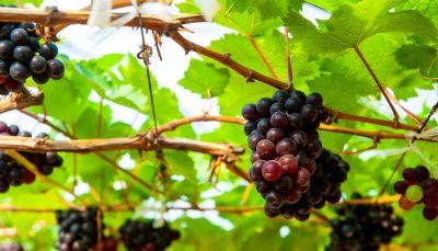Wine grapes in PB Valley Khao Yai