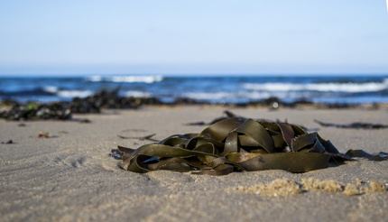 Seaweed on the beach is a food source