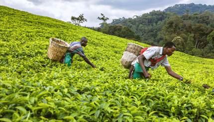 Tea plantations in Rwanda