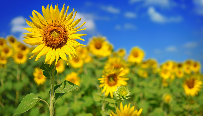 Home - Sunflowers
