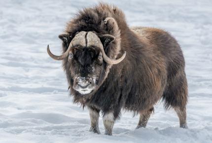 A musk ox