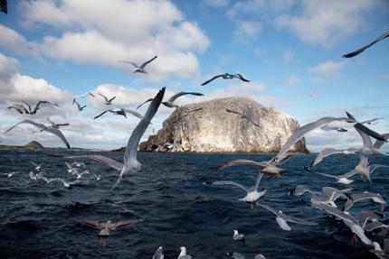 Gannets flying around Bass Rock