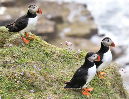 Atlantic Puffins at Dunnet Head