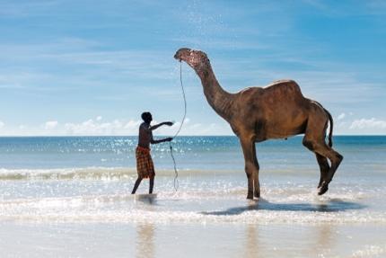 A man washing his camel on Diani Beach, Kenya